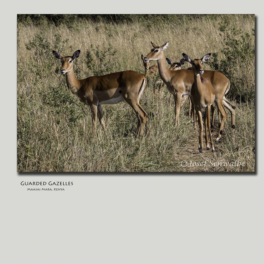 Guarded Gazelles