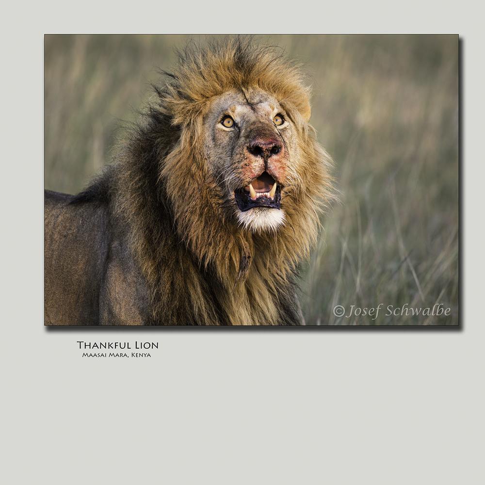 Thankful Lion