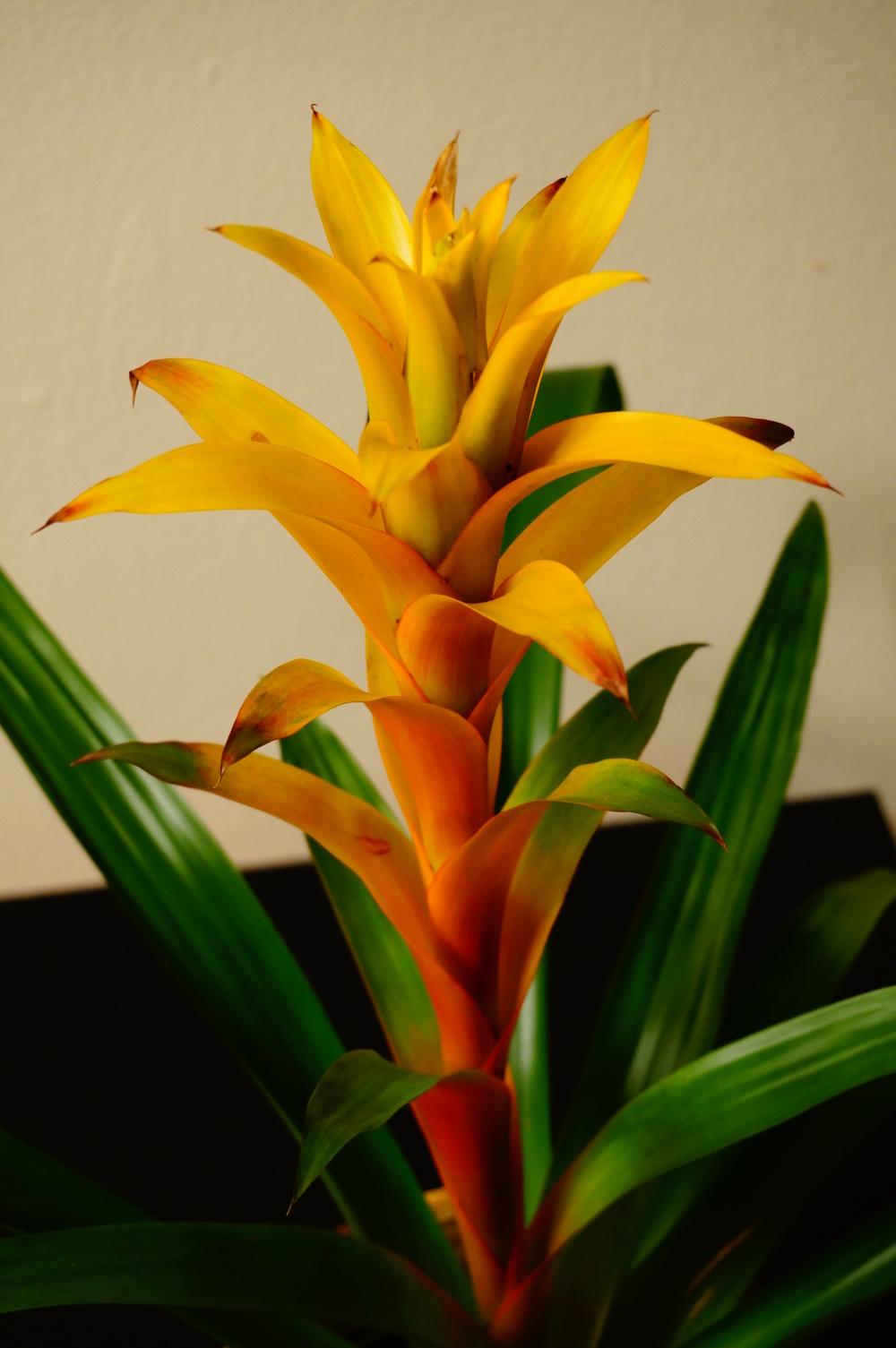 My houseplant - Bromeliad