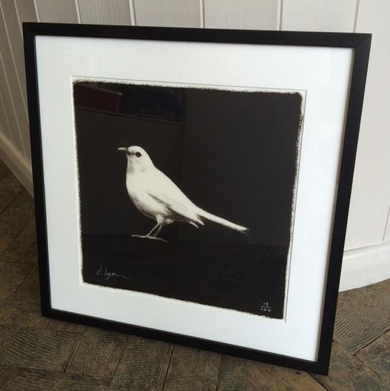 WhiteBlackbird.JPG