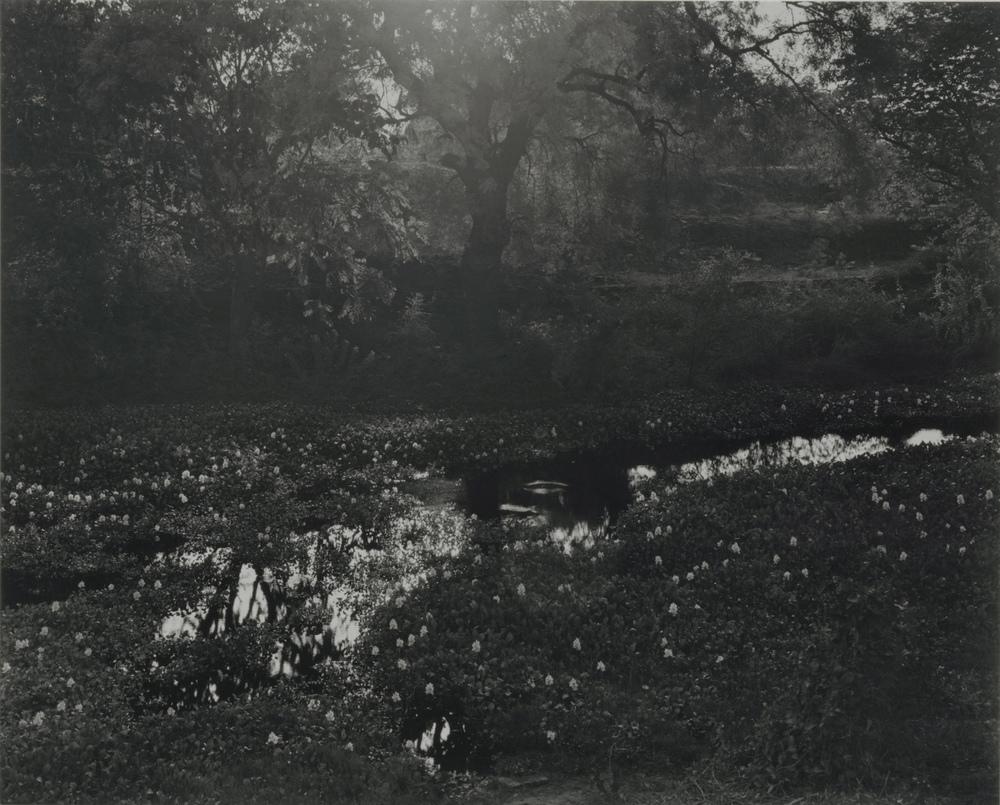 Water Hyacinth, Pagan, Burma, 2002