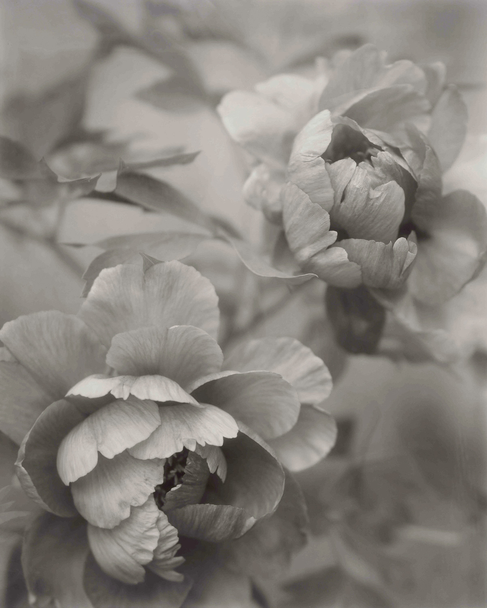 Elvira Piedra ,  Venerable Flowers   From a series of black and white images of the tree peony photographed with an 8 x 10 view camera. The photographer's negatives were drum scanned and realized as 16 x 20 inch pigment ink prints.  To see more of Elvira Piedra's work,  please click here.    Prints of Elvira Piedra's photographs are available in the  Shop .   www.elvirapiedra.com