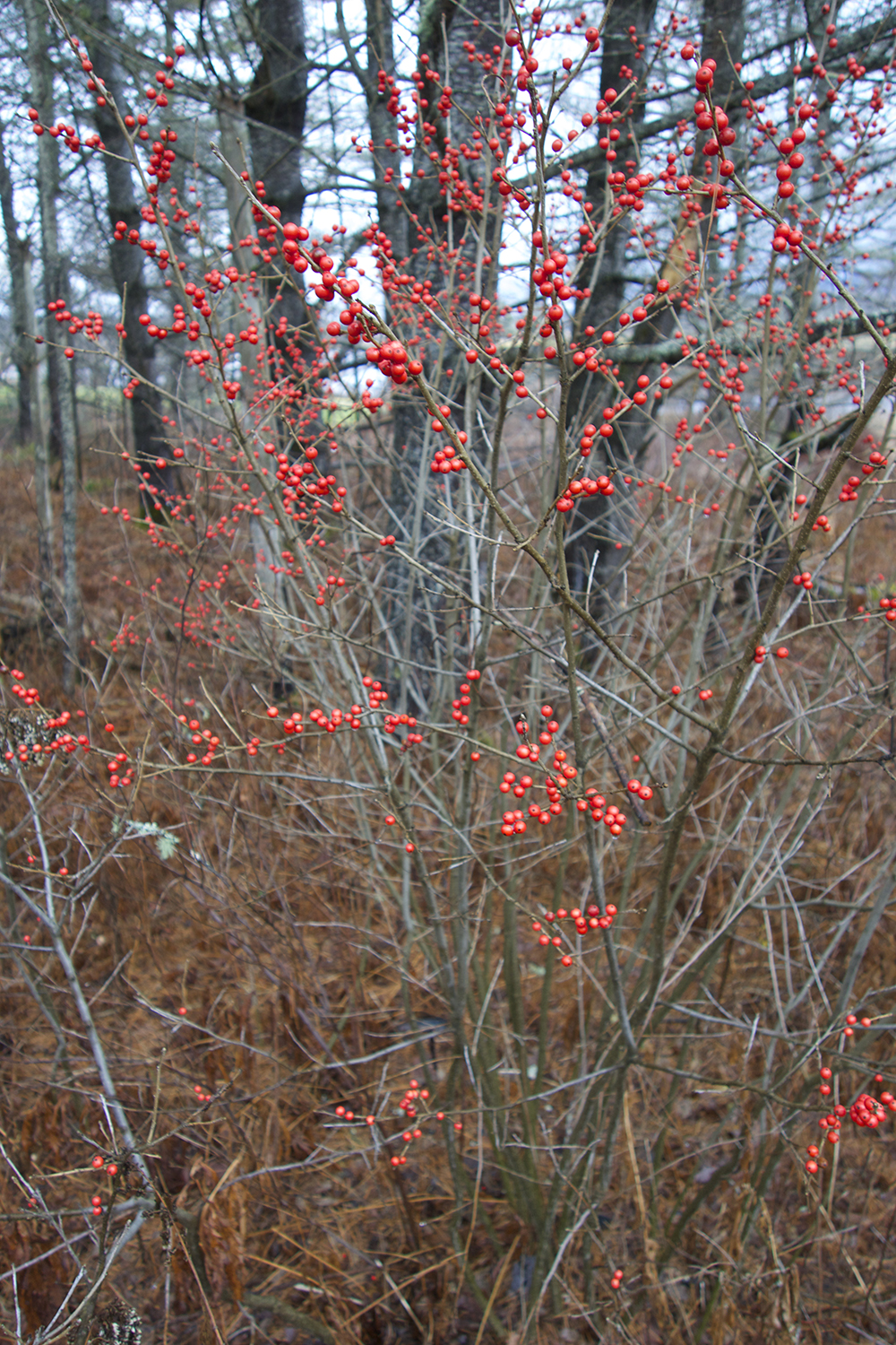 red berries.jpg