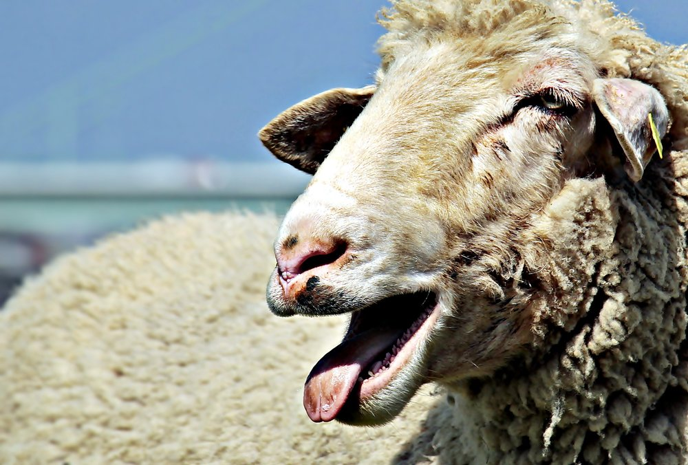sheep-2298366_1920.jpg