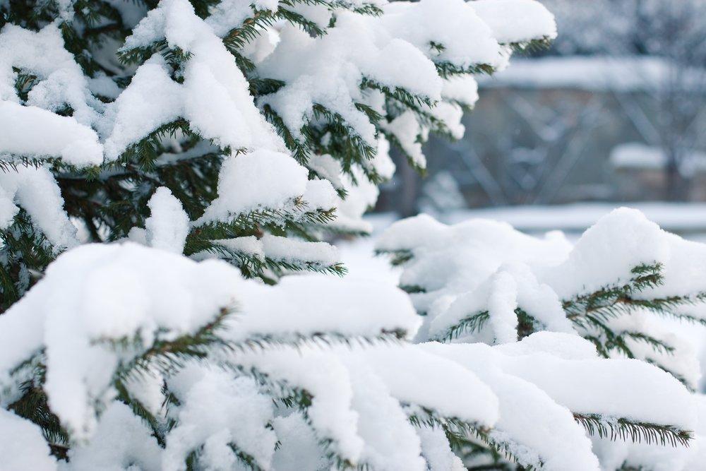 spruce-1848543_1920.jpg