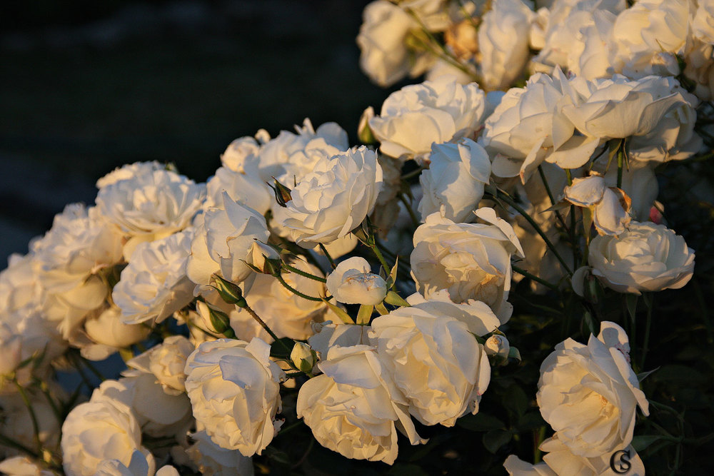 Roses in White CHIARIstyle