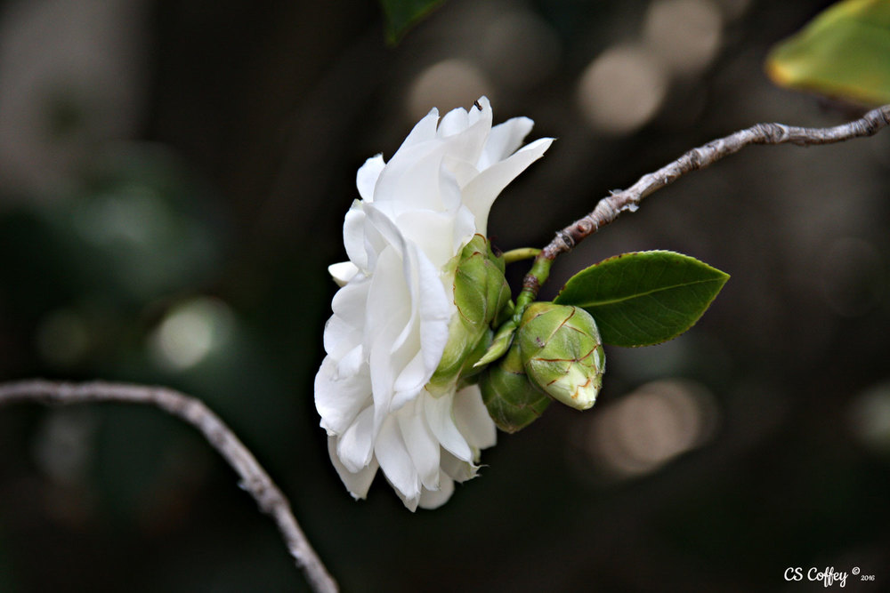 Camellia in bloom CHIARIstyle