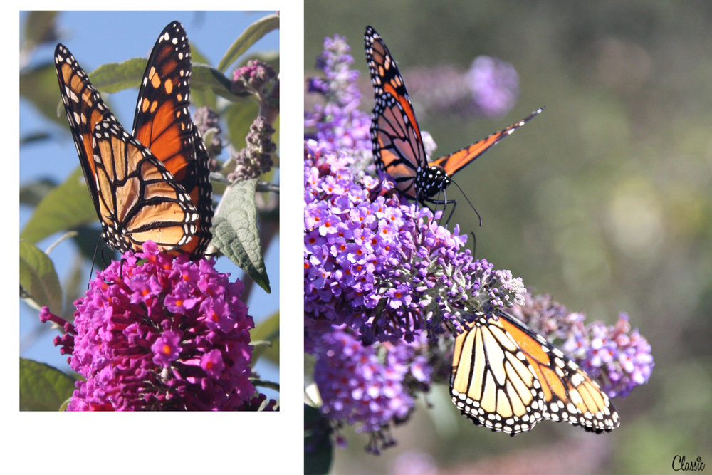 Watching Butterflies CHIARIstyle