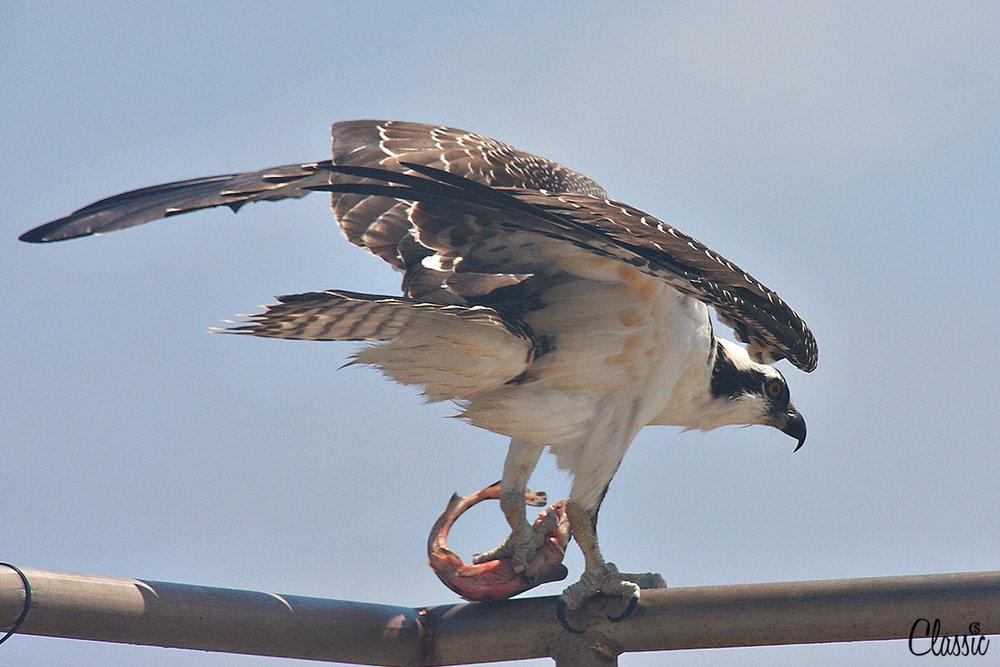 The osprey CHIARIstyle