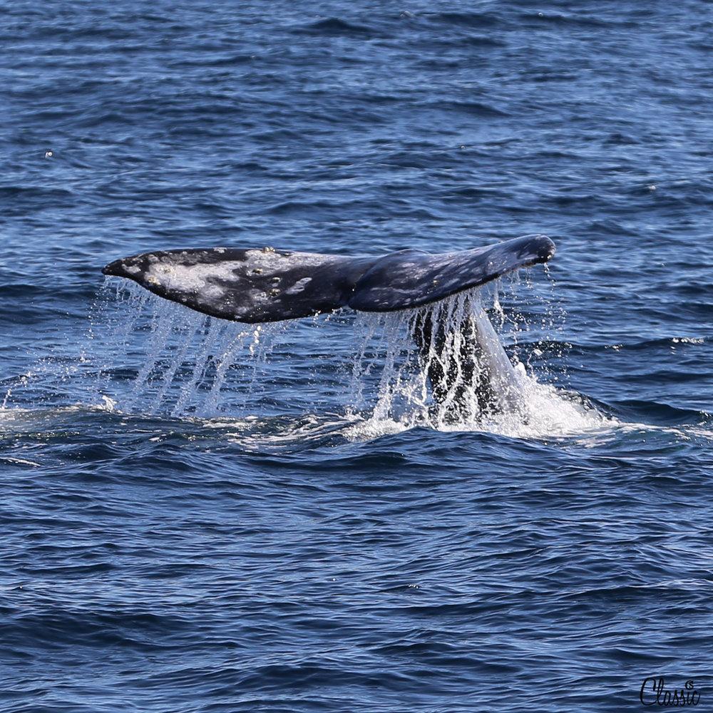 Whale Tail CHIARIstyle Long Beach