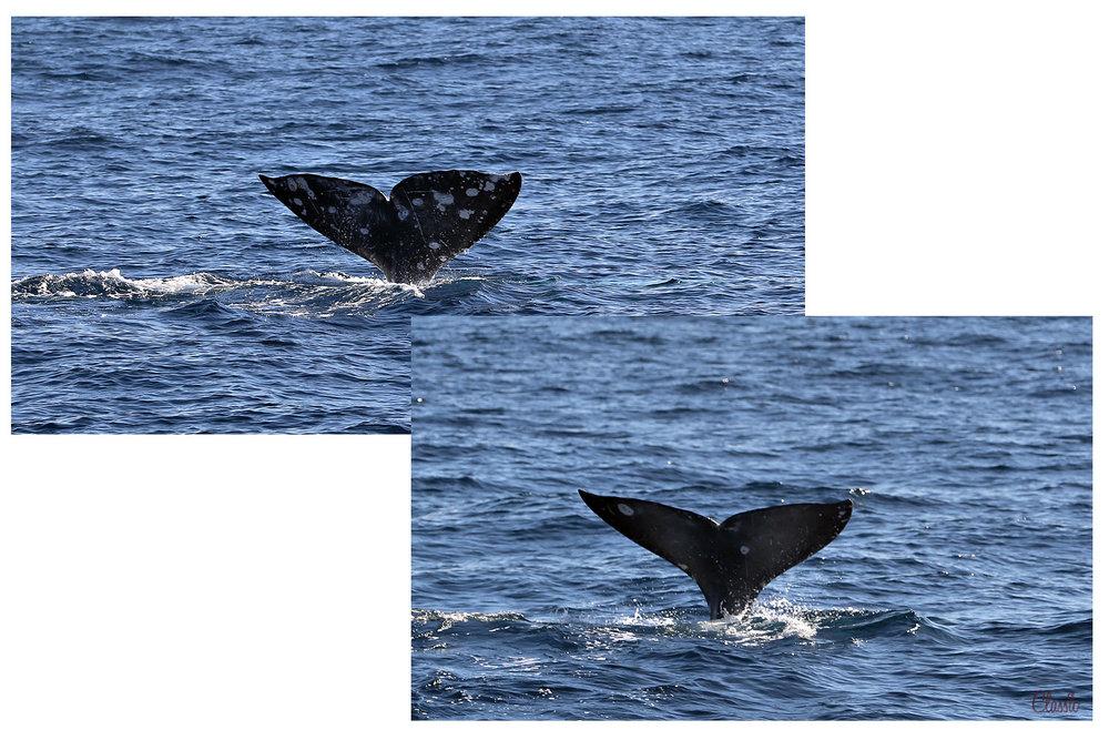 Whale Markings