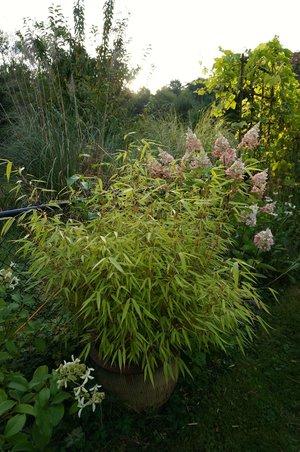 Fargesia dracocephala — Bamboo Collective