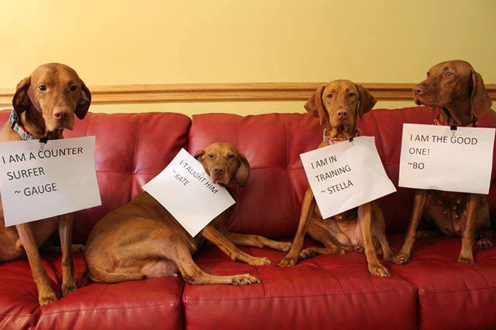 Vizslas (from Connie Forner)