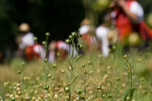 planta-linho-galego-2.jpg