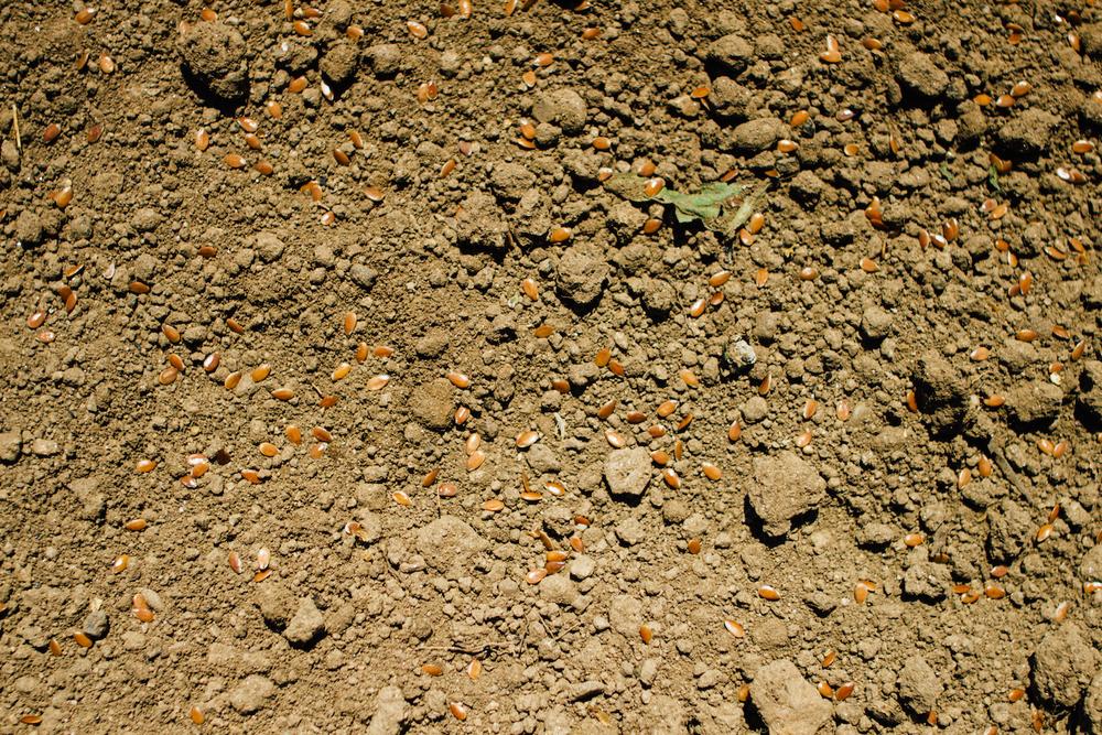 Talhão semeado a lanço