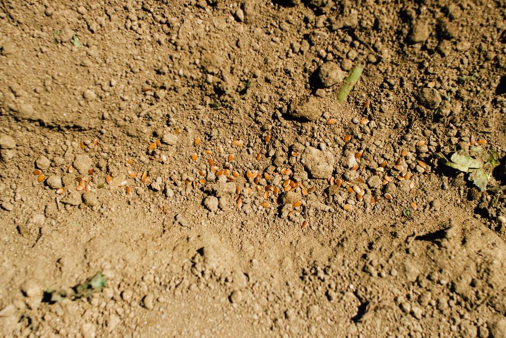 Talhão semeado em linha