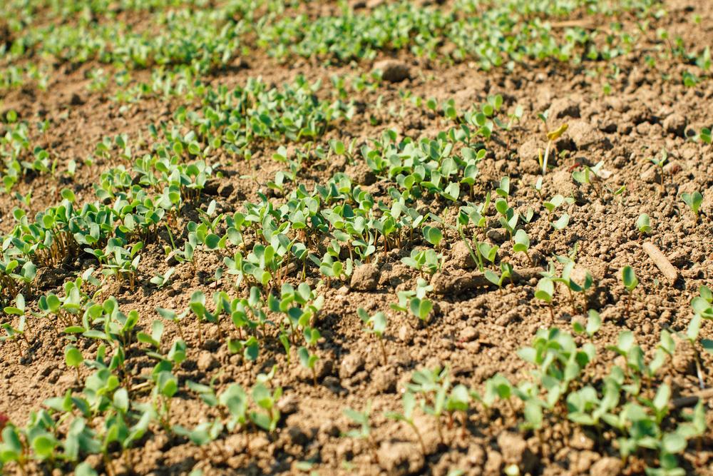 Rebentos de Linho Galego aproximadamente 1 semana após a sementeira - 30 de Abril 2016; / Our flax sprouting approximately 1 week after sowing 30 of April 2016;