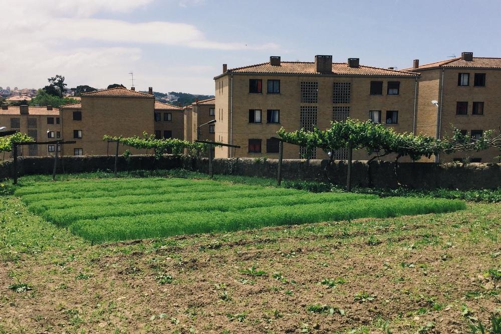 Linho galego -19 Maio 2016;/Flax field-19 May 2016;