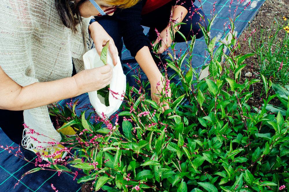 persicaria tintoria japanese indigo