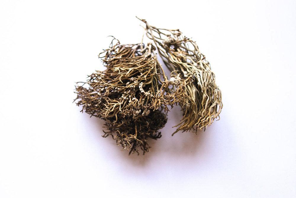 Urzela (Roccella tinctoria) /Orchella weed (Roccella tinctoria)
