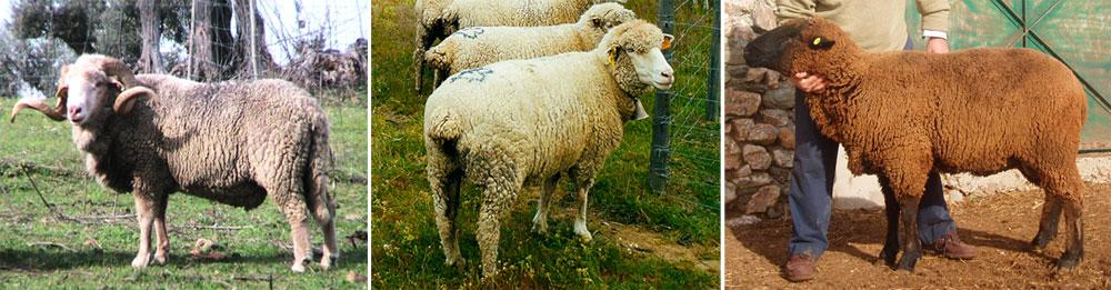 Ovinos de raça Merina da Beira Baixa, Merina Branca e Merina Preta. (Créditos fotográficos: Carlos Andrade, Carlos Bígares e Tiago Perloiro) / Merina da Beira Baixa, Merina Branca and Merina Preta are the three portuguese merino breeds.