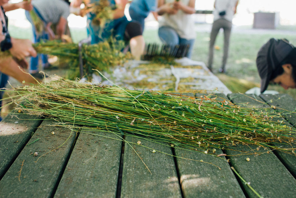 Linho ripado, sem cápsulas. / Rippled flax with no capsules.