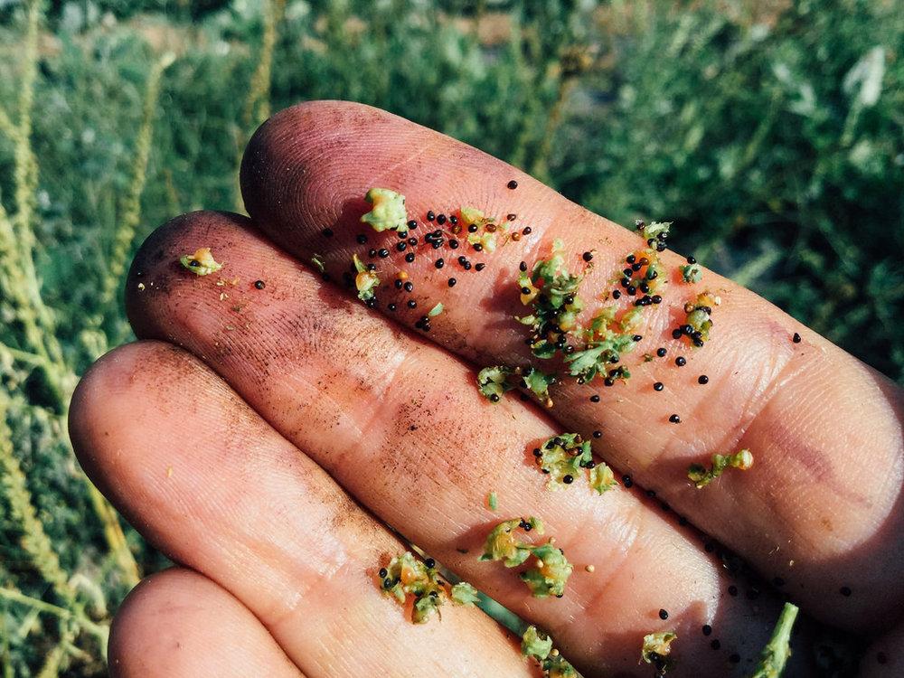 Sementes de lírio-dos-tintureiros acabadas de colher / Newly harvested weld seeds