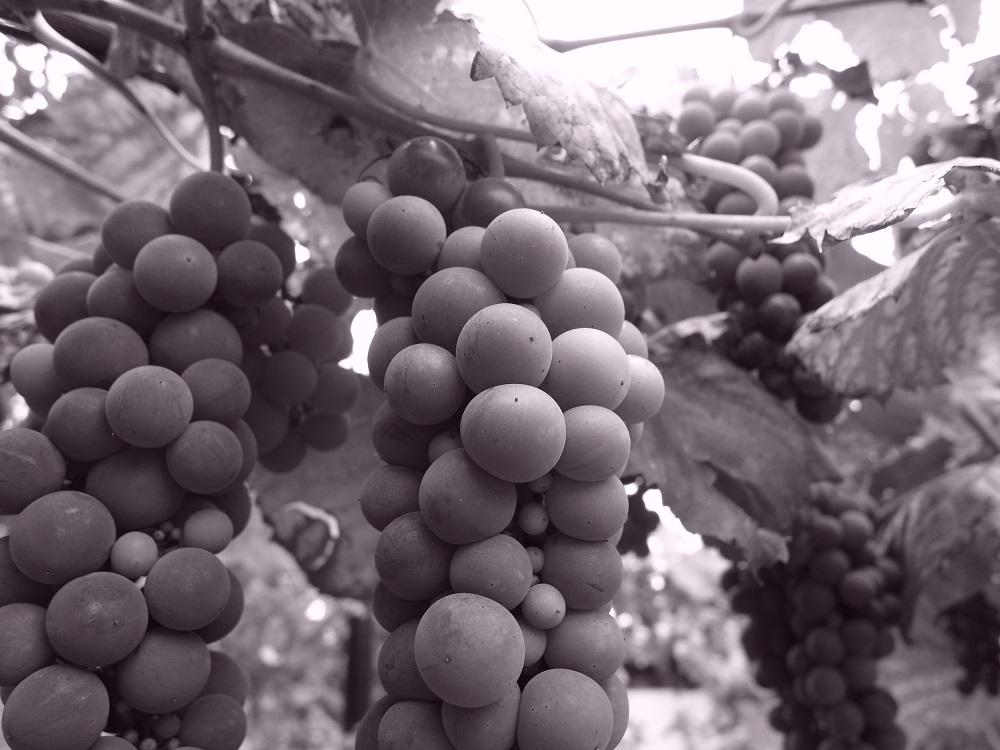 Grapesweb.jpg