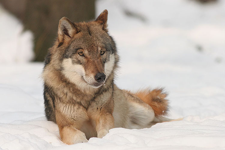 wolf reclining