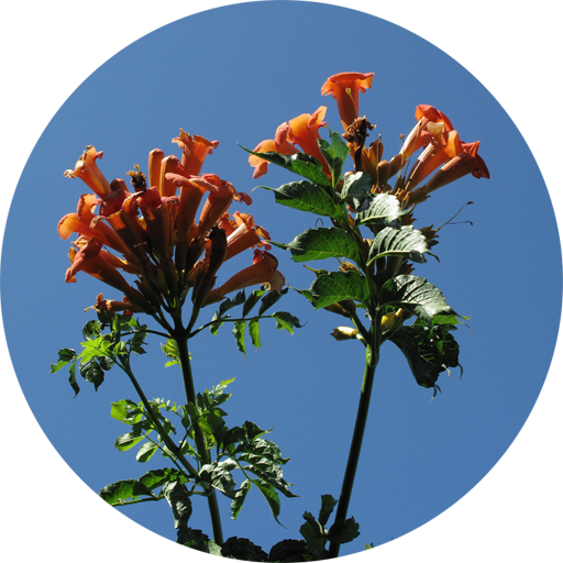 Campsis radicans, photo modified fromSamwiseGamgee69 on Flickr
