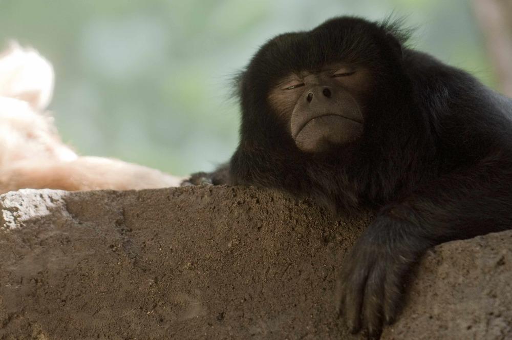 H_orig_black_howler_monkey_snooze_sleep_gal.jpg