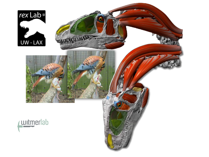 The rex , Cotton, and Witmer labs collaboratively investigate feeding in modern raptors and extinct dinosaurs. The American kestrel here was filmed by co-author Michael Ryan (Cleveland Museum of Natural History), and Allosaurus  restored by Ryan Ridgely (Ohio University).