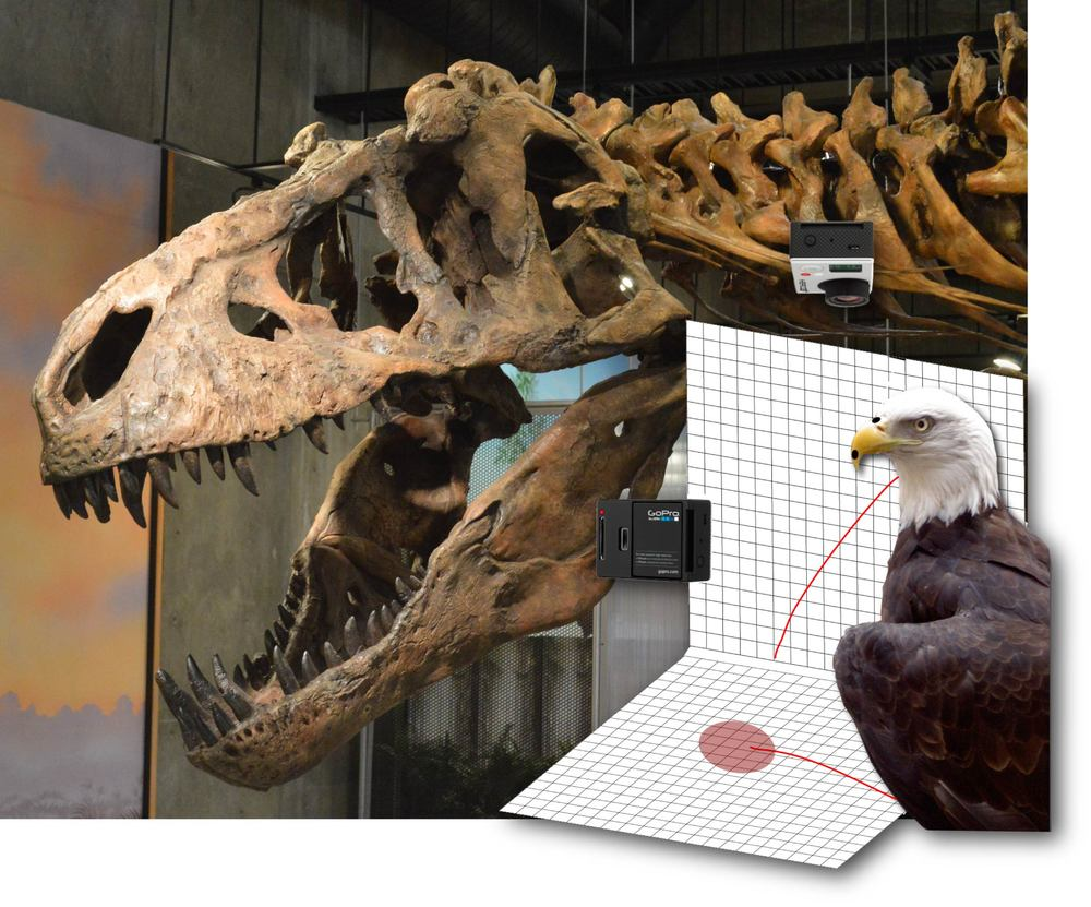 Skull and neck of  the  Tyrannosaurus rex  Scotty (RSM P2523.8; photo by M. Gilbert), and schematic of high-resolution, high-speed video of a feeding bald eagle ( Haliaeetus leucocephalus ). Paleontologist Tim Tokaryk led Scotty's excavation, and technician Wes Long prepared and cast its bones and reconstructed the skull as seen here.
