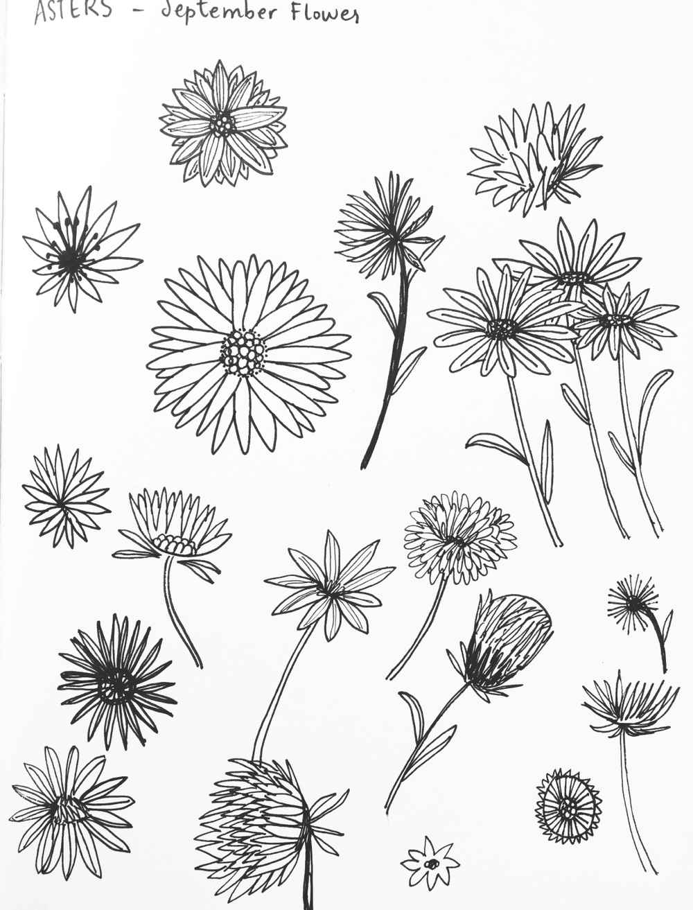 Aster Flower Sketches by Amanda Gomes • DelightedCo.com