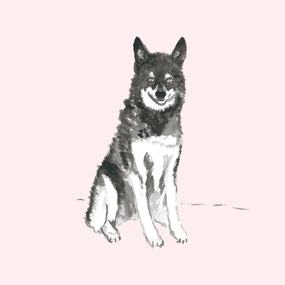 Husky Dog Illustration by Amanda Gomes • Delighted Creative Co.
