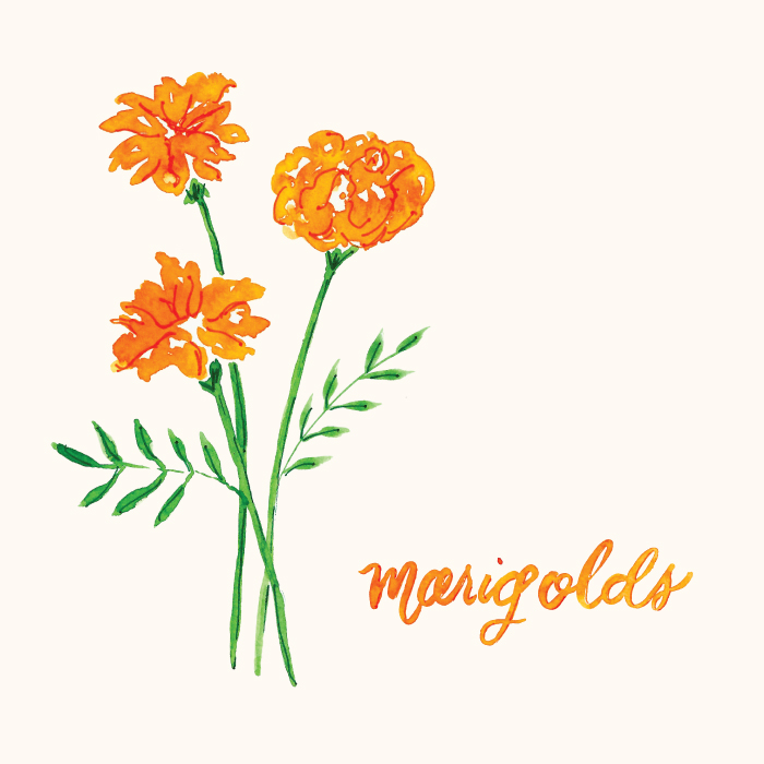 Watercolor Marigold Floral Illustration by Amanda Gomes • amandagomes.com
