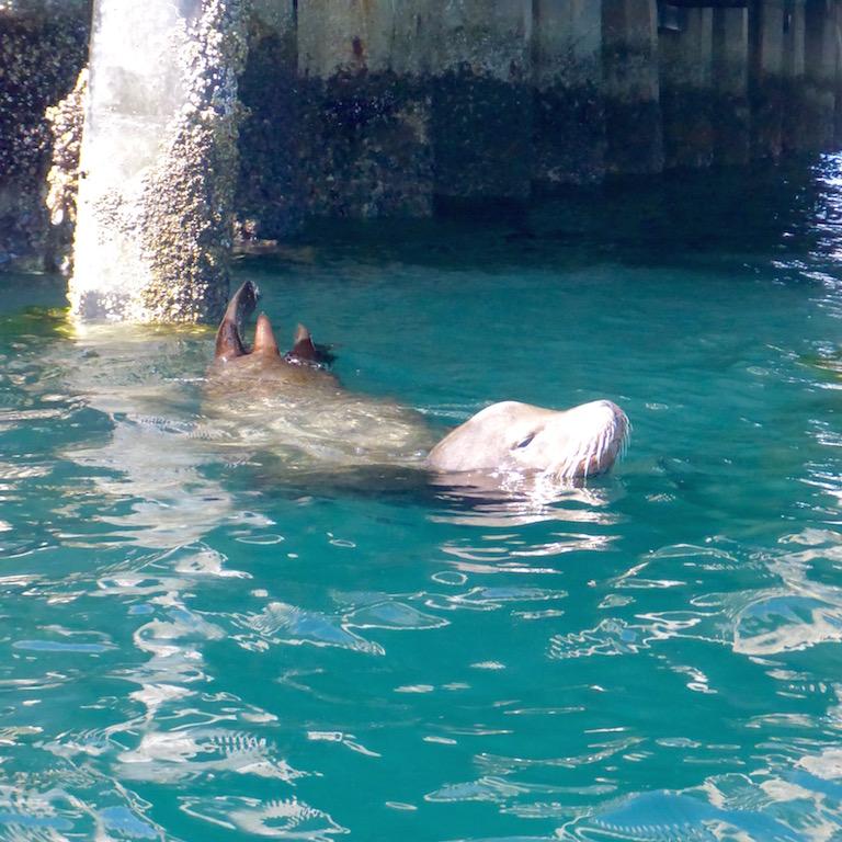 sea lions under the pier