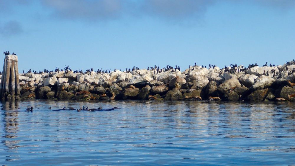 black cormorants on the higher rocks, seals on the lower rocks, and sea lions forming a raft in the water with their flippers up