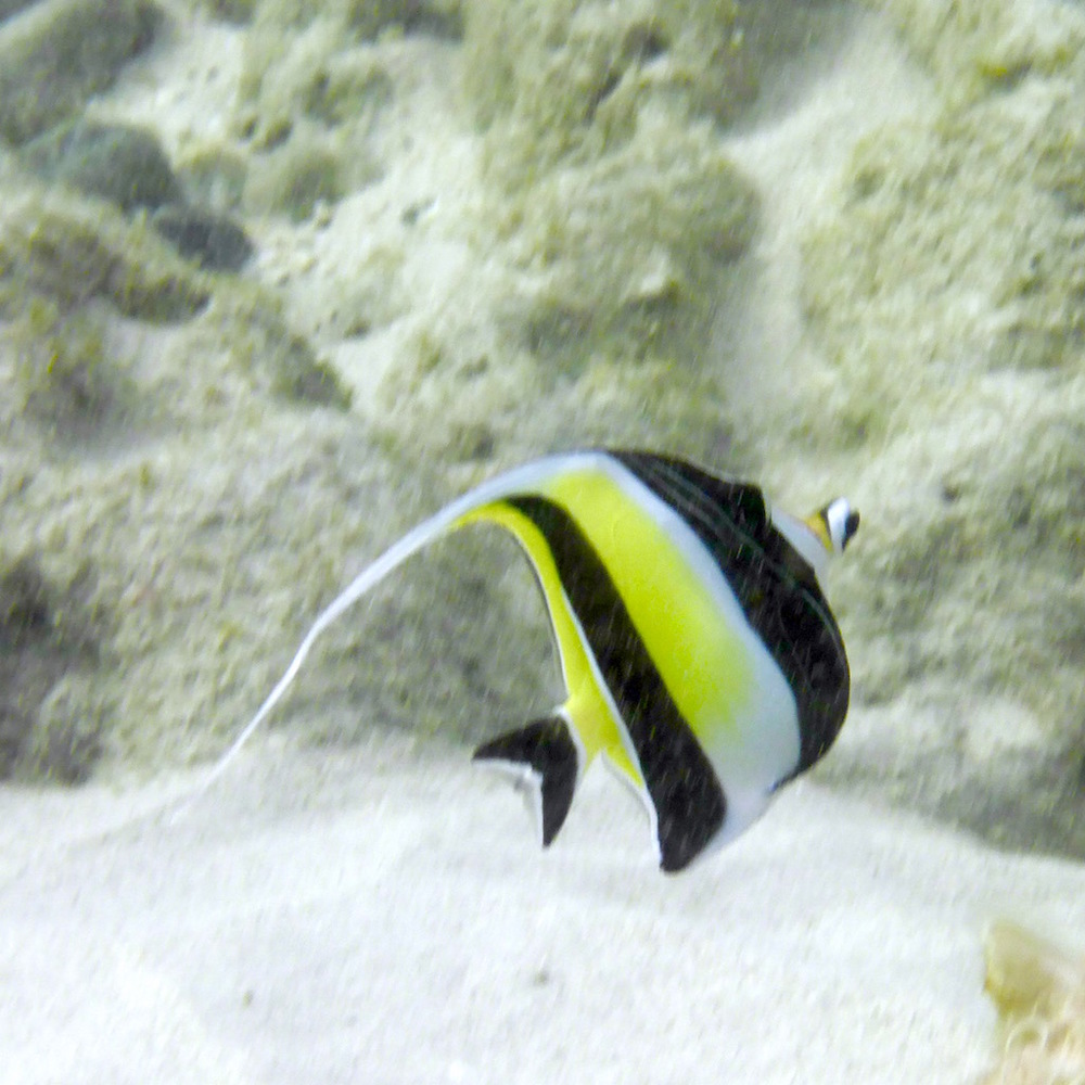 Moorish idol. Photo: Vlademer Laloy.