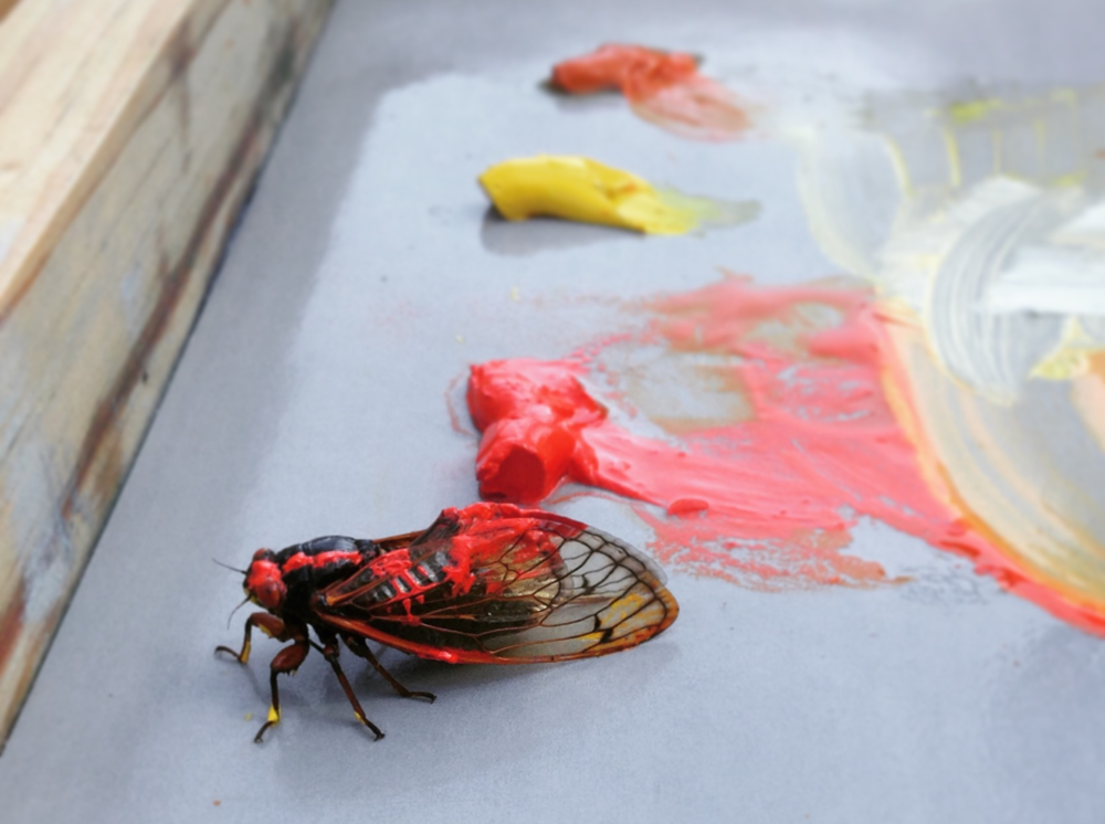 Cicada vs Cad Red