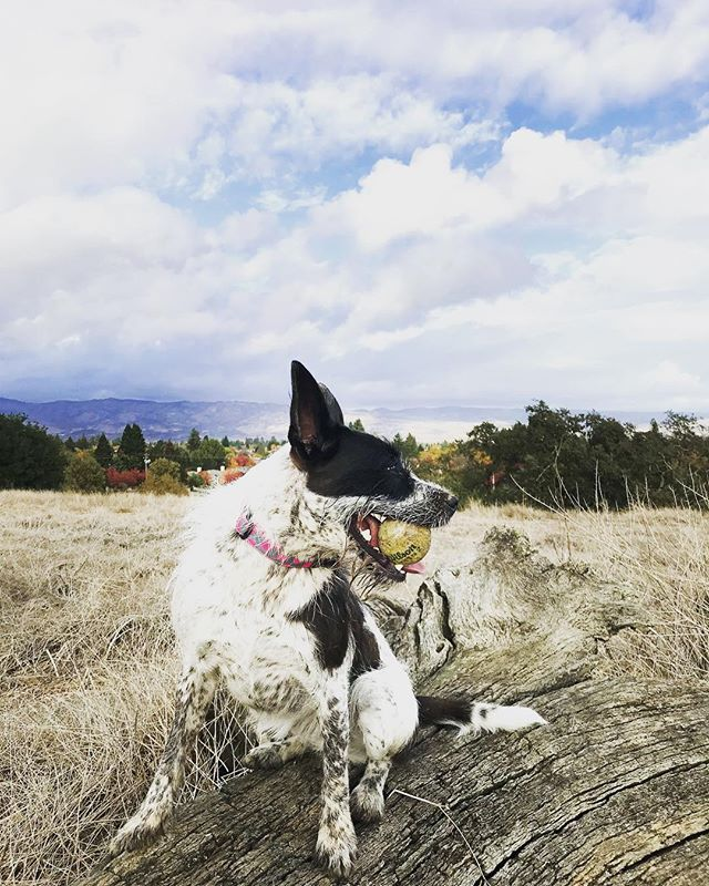 Happy birthday to this girls BFF.  Two years old now - it seems like just yesterday that I adopted you! To many more years of tennis ball destruction, ocean swims and cattle dog craziness . . . #dogstagram #heelersofinstagram #heelergram #heelermix#dogs#californiadog
