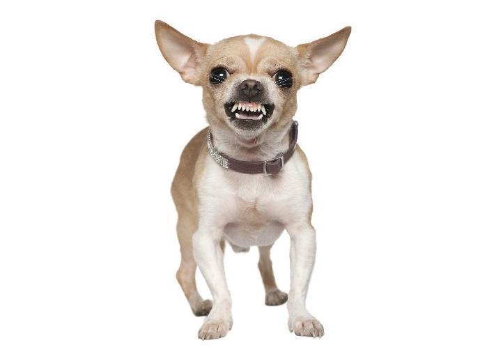 chihuahua primal canine dog training