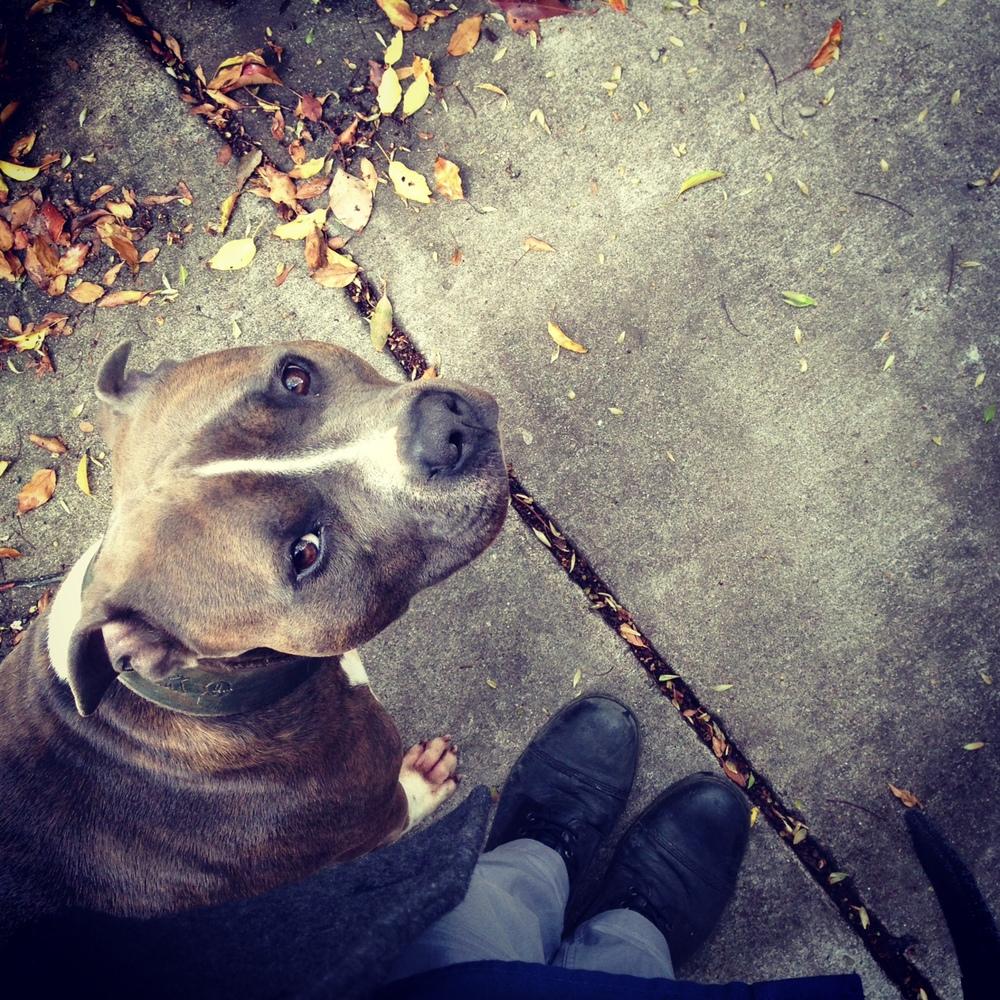 primal canine pitbulls