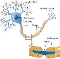Myelin sheath aligning nerve