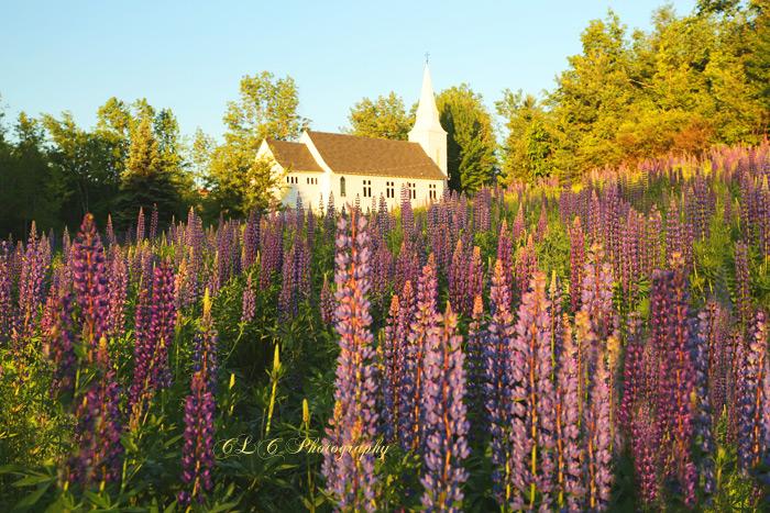 Lupin, Sugar Hill New Hampshire...