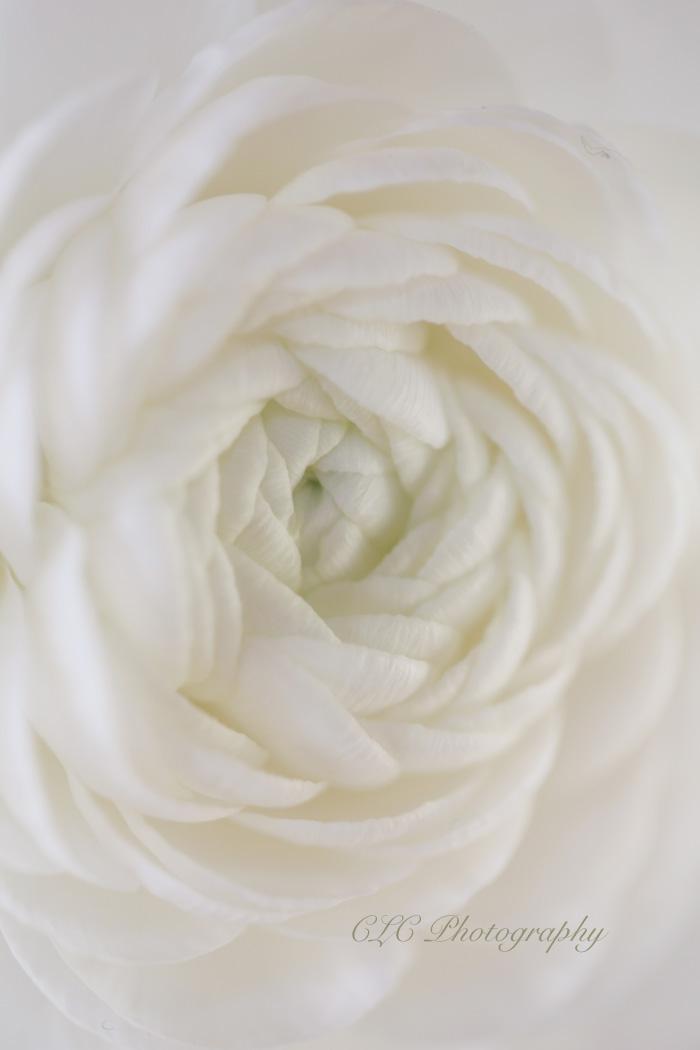 whiteronokoasflowerweb.jpg