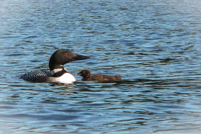 Loon with baby...Naples, Maine