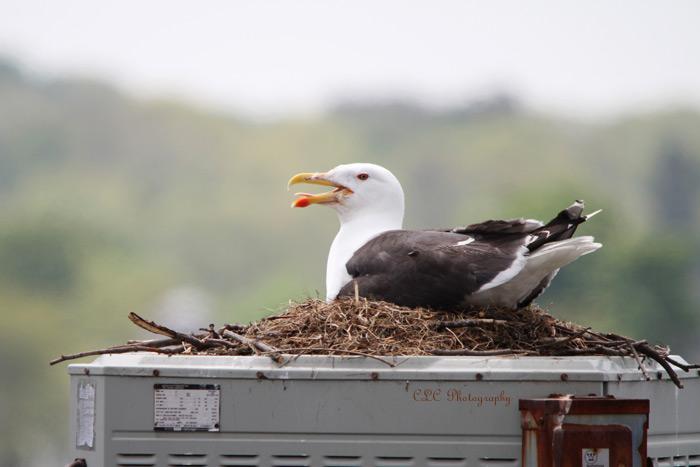 Seagull sitting on Nest..Gloucester, Mass