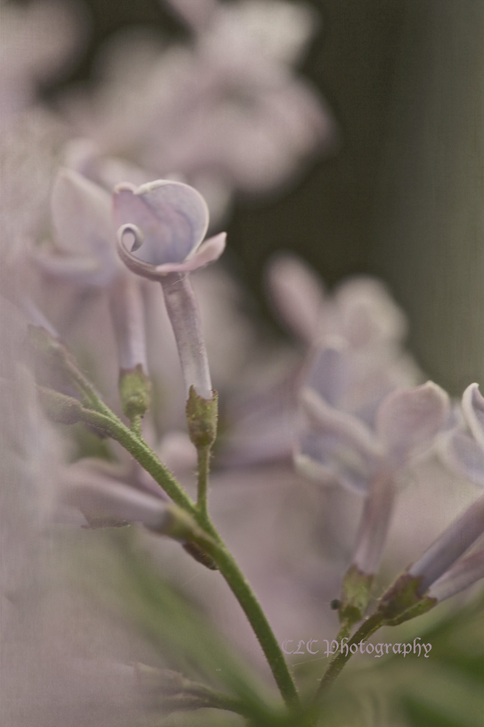 purplebudweb.jpg