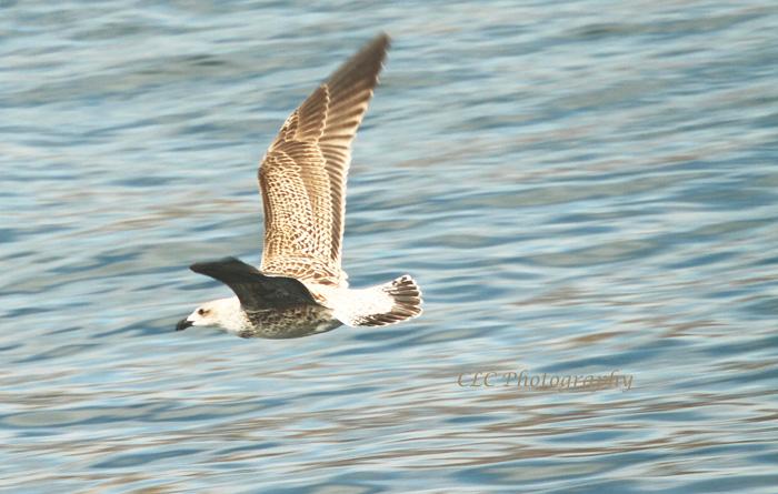 Seagull crossing Gig Harbor, Seattle Wash.